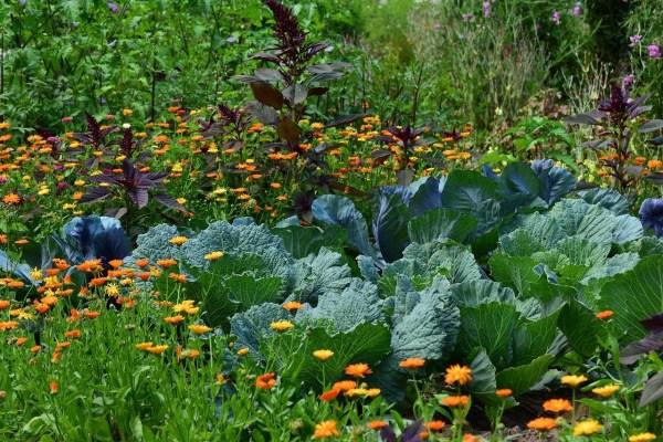 asociación con plantas útiles en el huerto