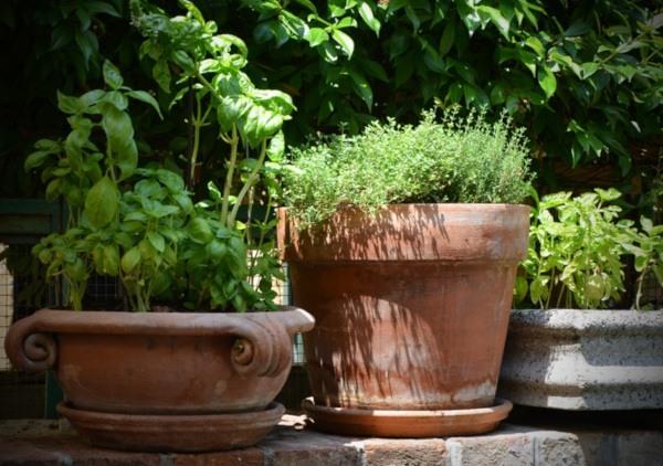 Cultivar plantas aromáticas en maceta