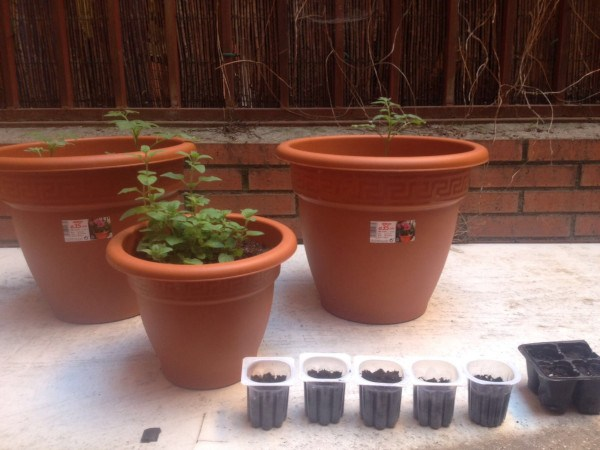 Cultivar aromáticas en macetas