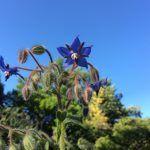La Borraja: Guía completa para cultivar borraja en el huerto