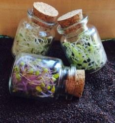 Cómo hacer germinados para ensaladas: Brotes tiernos saludables