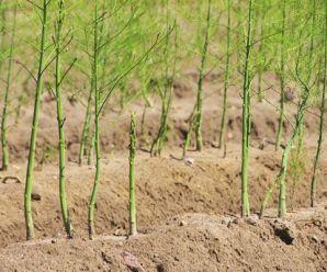 Cómo cultivar Espárrago paso a paso: siembra, abono, cosecha y más