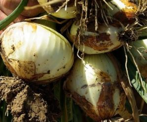 Plagas y enfermedades de la cebolla: Guía completa