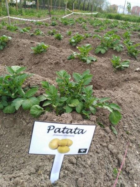 Cultivo de patatas en el huerto urbano comunitario de Vicálvaro (Fuente: www.facebook.com)