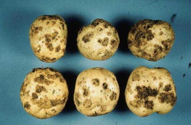 Patatas infectadas por Streptomyces scabies o sarna común. Fuente: www.invasive.org
