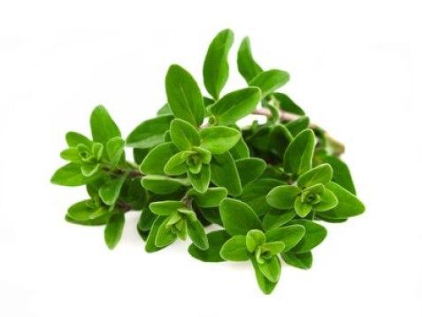 cultivar albahaca
