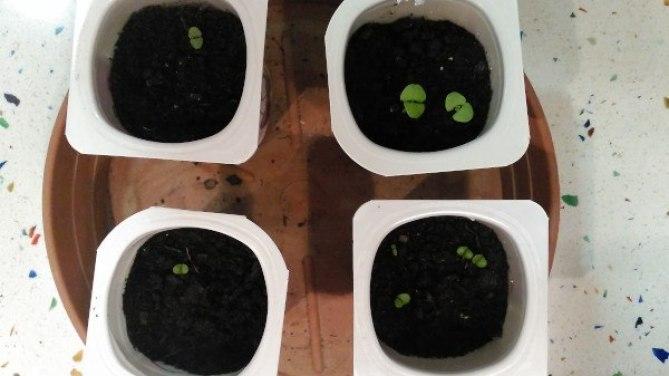 cuidar la albahaca en semilleros