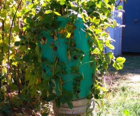 Materiales reciclados. Bidón para cultivar fresas