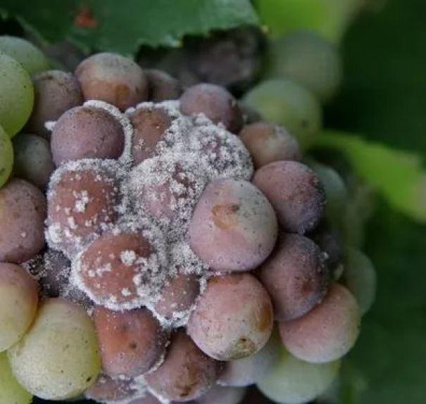 Botrytis cinerea en uvas