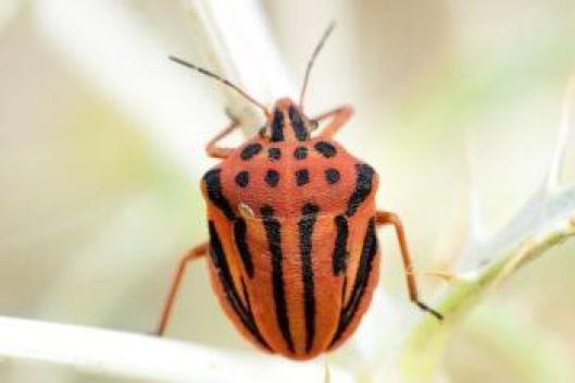 Chinche punteada (Graphosoma semipunctatum)