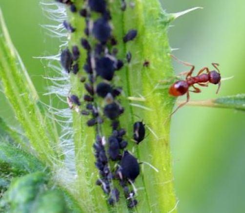 Hormiga roja con pulgones