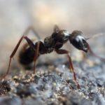 ¿Cómo eliminar las Hormigas negras de la huerta?: Los mejores trucos