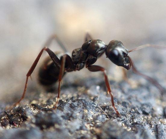 Hormiga en la tierra.
