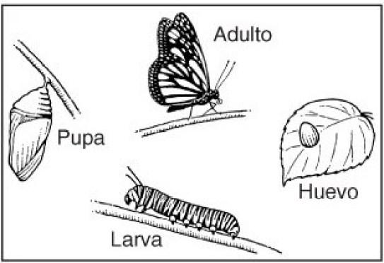Ciclo de un lepidóptero (mariposas o polillas)
