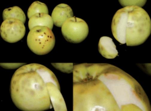 Falta de calcio en manzano conocido como Bitter pit.