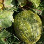 El melón: Orugas, manchas en las hojas y otros problemas.