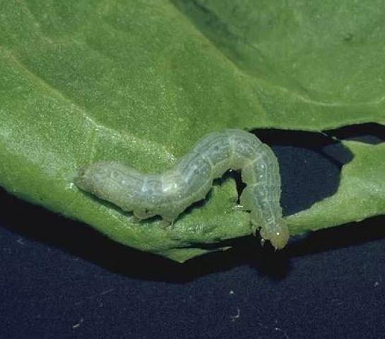 Plusia, una oruga que ataca al cultivo del melón.