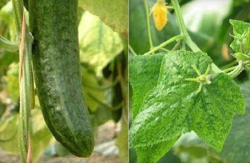 Virus venas amarillas pepino (CVYV)