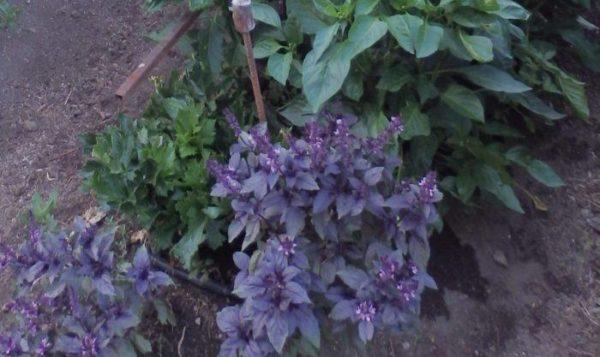 Cultivar hierbas arom ticas para cocinar xito seguro for Plantas aromaticas para cocinar