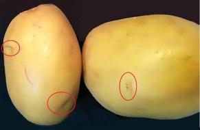 Cómo recrecer patatas: Sembrar patatas en 5 sencillos pasos