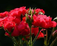 Plagas y enfermedades en los rosales: pulgones, manchas negras