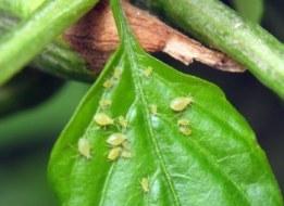 Plagas del huerto: Las 4 plagas más comunes y cómo eliminarlas