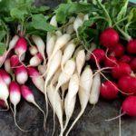 Cómo cultivar rábano. Un cultivo fácil, también para principiantes.