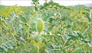 Cultivar Garbanzos en el Huerto: Los mejores trucos y consejos