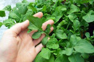 Cultivar Rúcula paso a paso: siembra, riego, cosecha y otros