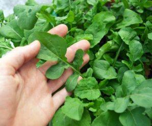 plantas silvestres comestibles: rúcula