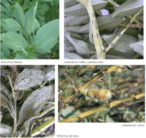 hongos en las hojas y tallos de las plantas