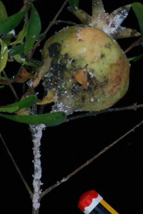 Cochinillas algodonosas en granada