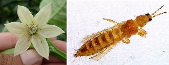 Insectos y plagas típicas del huerto: los trips