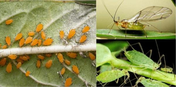 Los pulgones de las plantas y tratamientos