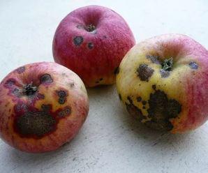 Daños en frutos. Frutos podridos, con manchas, agujeros o bultos