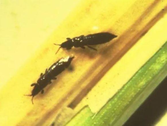trips insectos negros pequeños
