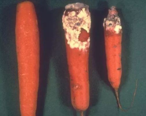 Sclerotinia-sclerotiorum