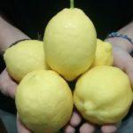 Enfermedades del limonero: hojas amarillas, manchas marrones…