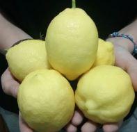 Enfermedades del limonero: hojas amarillas, manchas marrones...