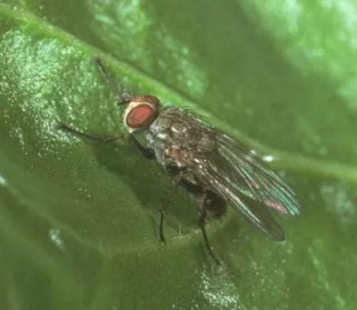 Pegomyia betae, ejemplo de plagas de las espinacas