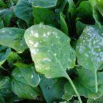 Enfermedades de las espinacas: manchas en las hojas, virus y más