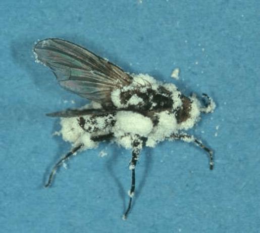 Mosca parasitada por Beauveria bassiana