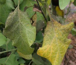 Puntos Negros en las Hojas de las Plantas: Descubre qué es