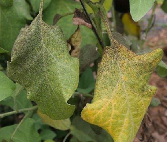 Puntos negros en las hojas causados por la fumagina o negrilla.
