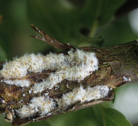Pulgón lanígero, una de las plagas del manzano.