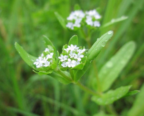 Flor de Valerianella locusta