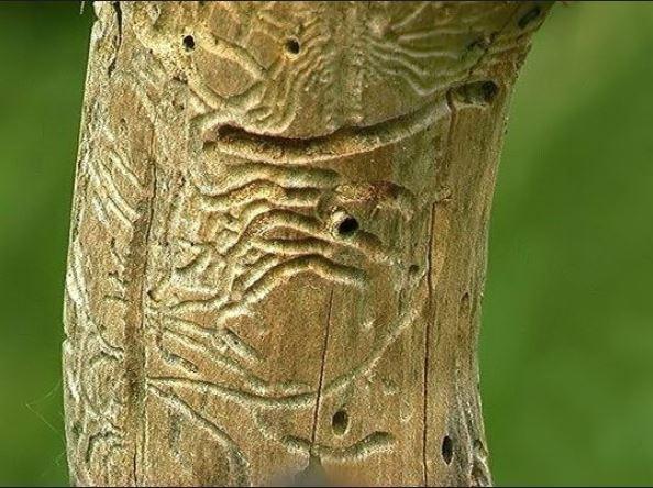 Galerías causadas por el barrenillo del manzano.