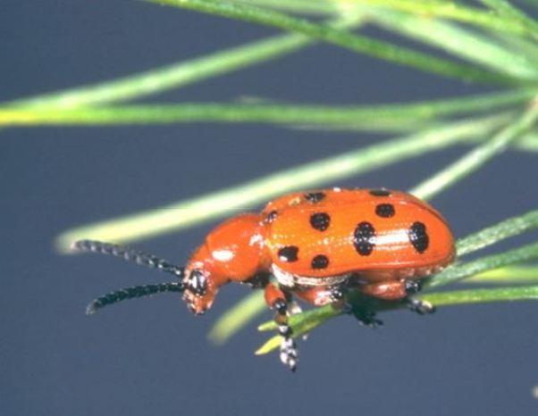 Escarabajo naranja espárrago: Crioceris duodecimpunctata