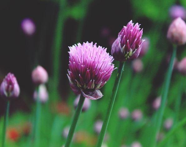 Flor del cebollino o ciboulette