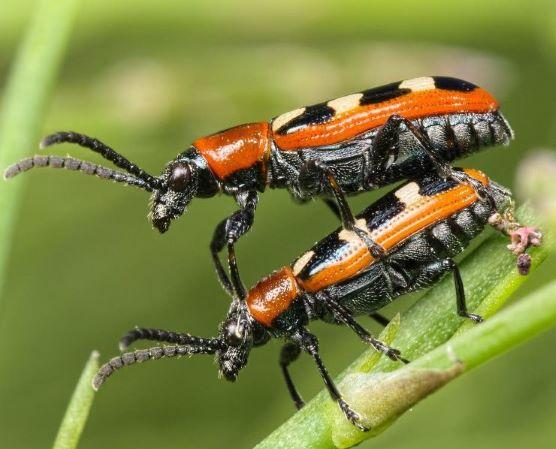 Plagas del espárrago: escarabajo común del espárrago